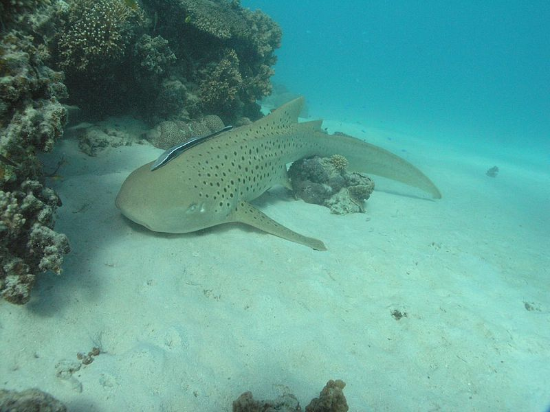 Zebra Shark Looking for FoodZebra Shark