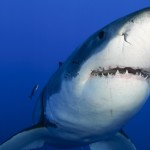 Great White Smiling