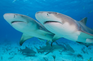 Two Lemon Sharks