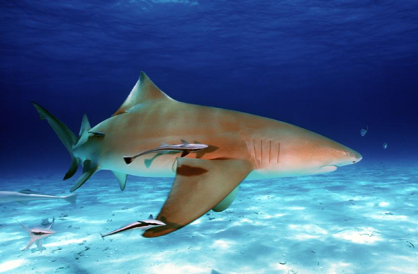 Lemon shark - Wikipedia