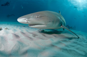 Lemon Shark on Sea Floor