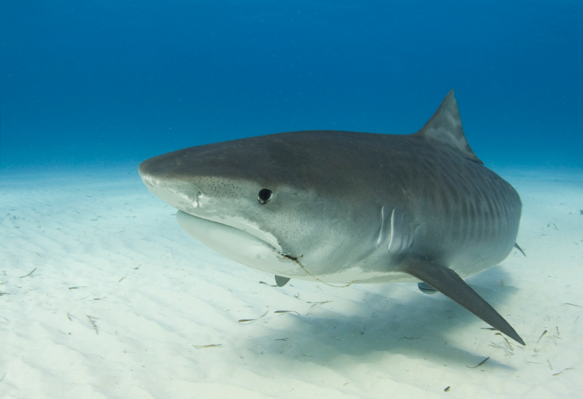 Tiger Shark Facts Extreme Shark Facts