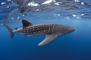 Whale Shark Swiming