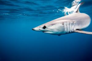 Mako Shark (Short-Fin)