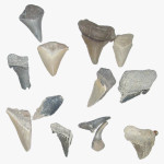 Fossilised_Shark_Teeth_2